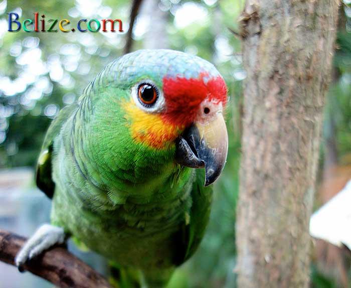 belize-parrot-clarissa-falls-1