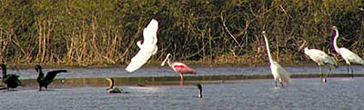 birds-of-central-america-and-belize