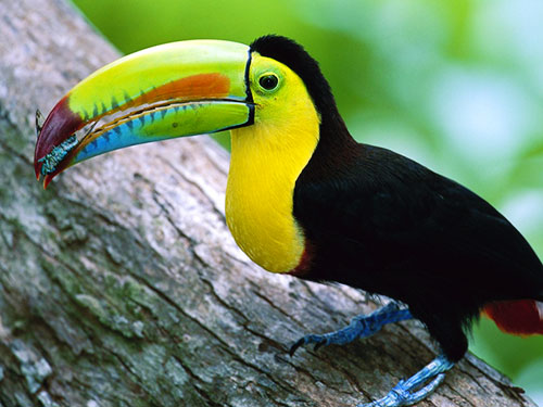 keel-billed-toucan-belize-2011