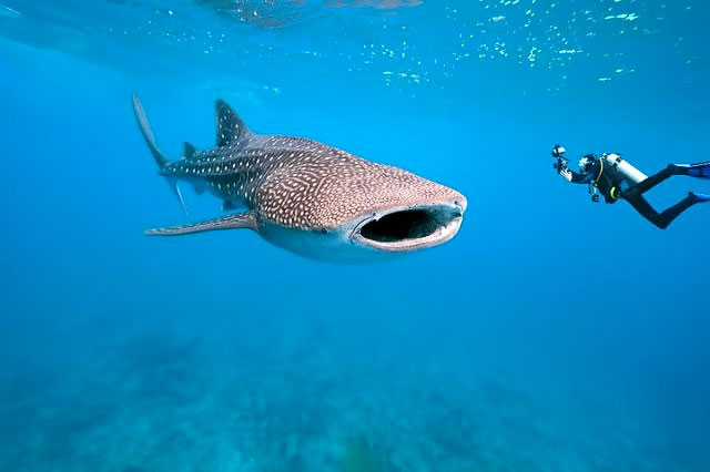 belize-whaleshark-and-diver