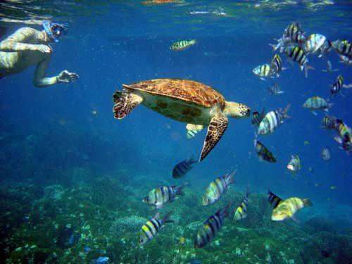 scuba-snorkel-with-turtle-placencia