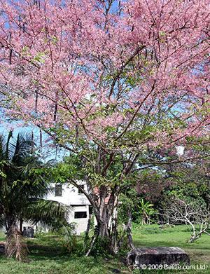 Cassia Grandis Belize Bukut Tree