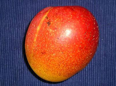 belize-haden-mango
