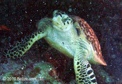 belize-scuba-sea-turtle