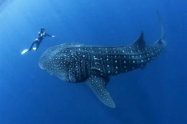 diving with belize whale shark