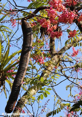 cassia-grandis-bukut-fruit-and-flowers