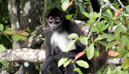 spider-monkey-450